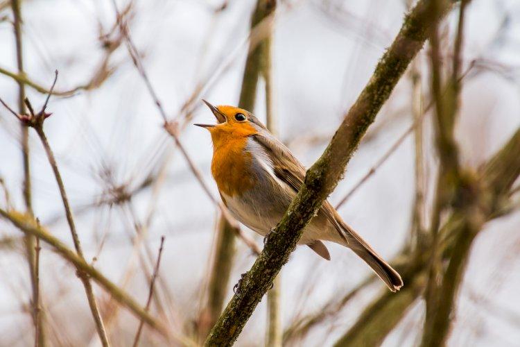 Odo cantar gli uccelli