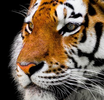 «The way of the tiger», tuteliamo la tigre