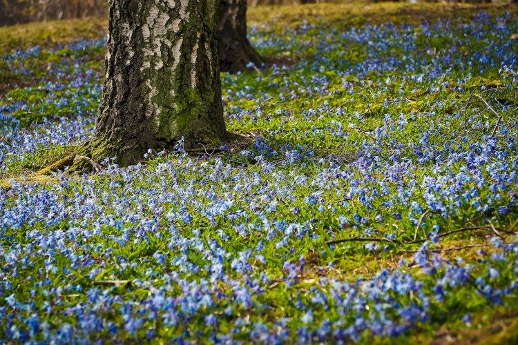 Noi fioriamo come una betulla